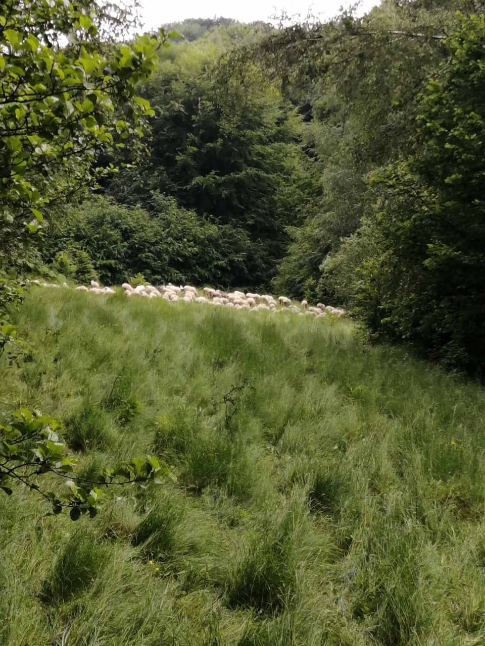Фото - Румунський пастух заблукав і з отарою незаконно потрапив на територію України